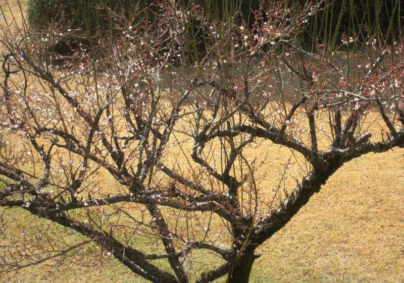 梅が咲いています。