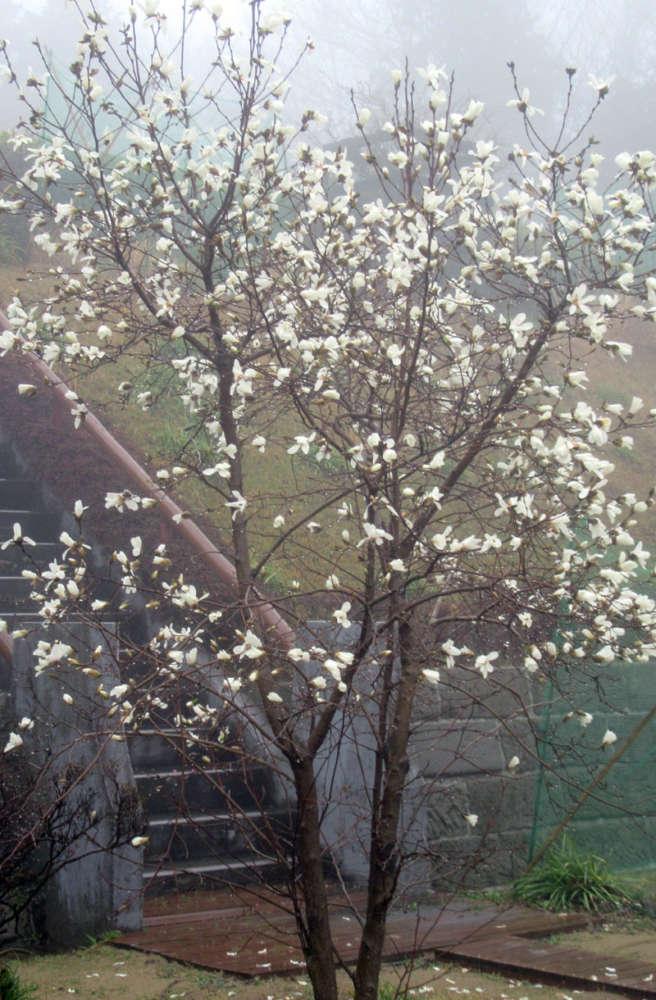 モクレンの花