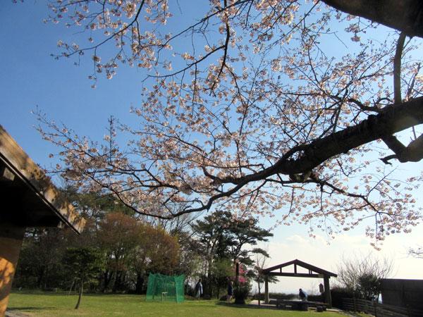 桜が満開です